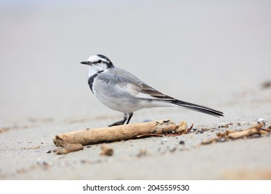 Black-backed Wagtail looking for food on the beach