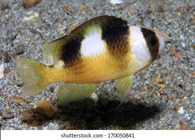Black Banded Damselfish Amblypomacentrus Breviceps In The Waters Of Indonesia