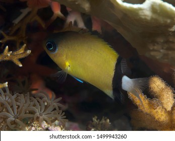Black-bar chromis in Bohol sea Philippines