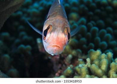 Blackbar soldierfish (Myripristis jacobus) underwater in the caribbean sea of Bonaire