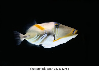 Blackbar triggerfish, Picasso Triggerfish, lagoon triggerfish (Rhinecanthus aculeatus)