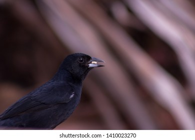 Blackbeard is a passerine bird of the Thraupidae family. Black coloring, sitting on a tree.