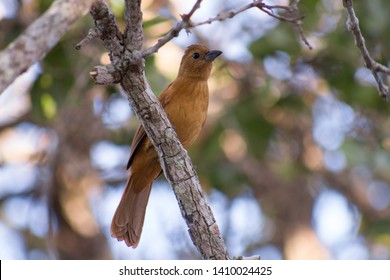Blackbeard is a passerine bird of the Thraupidae family. Color brown, sitting on a tree.