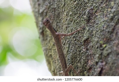 Black-bearded gliding lizard found in MacRitchie Singapore