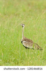 Black-bellied bustard (Lissotis melanogaster), also known as the Black-bellied korhaan, a ground dwelling bird in the bustard family