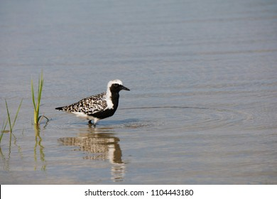 Black-bellied (grey) Plover (Pluvialis squatarola) standing in shallow water foraging for food at Ft. Desoto Park near St. Pete Beach, Florida.
