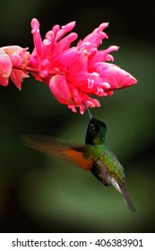 Black-Bellied Hummingbird, Eupherusa nigriventris, rare endemic hummingbird from Costa Rica, black bird flying next to beautiful pink flower in tropical forest, animal in the nature habitat.