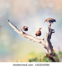 Black-bellied Whistling Ducks on a tree