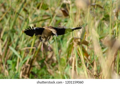 Black-bellied Whistling-duck (Dendrocygna autumnalis) in Palo Verde National Park, Costa Rica