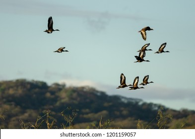 Black-bellied Whistling-ducks (Dendrocygna autumnalis) flying in Palo Verde National Park, Costa Rica