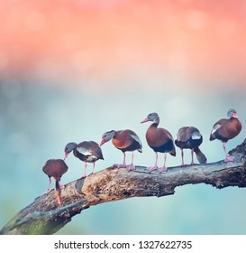 Black-bellied Whistling-Ducks on a tree