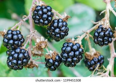 Blackberries. Blackberry. Rubus ulmifolius. Berries.