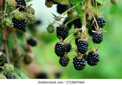 Blackberries on a green branch. Ripe blackberries. Delicious black berry growing on the bushes. Berry fruit drink. Juicy berry on a branch.