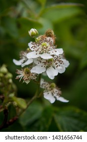 Blackberry Bloom Side View with selective focus