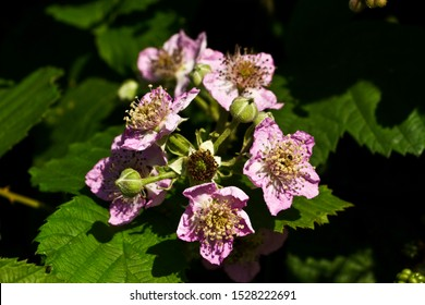 The Blackberry or Bramble is a deciduous to semi-evergreen shrub with intense prickles that can form dense, impenetrable patches. The plant has over 320 apomictic fruit-bearing 'micro-species'