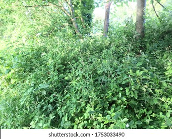 Blackberry bramble and weeds and foliage next to a canal in rural England.
