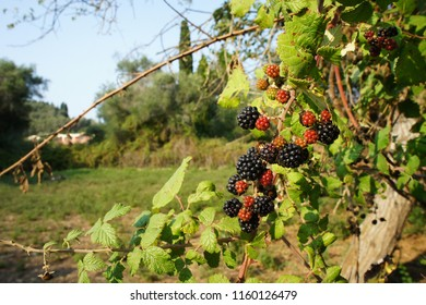 BlackBerry branch with ripe and ripening berries