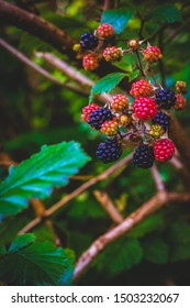 Blackberry Bush With Wild Brambles Growing in a Forest in Scotland With Copy Space
