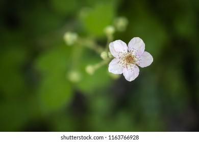 blackberry flower bloom