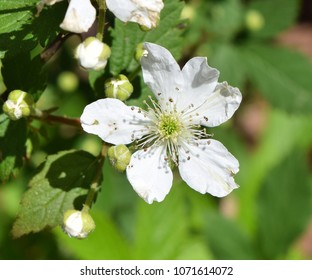 Blackberry flower in Mississippi
