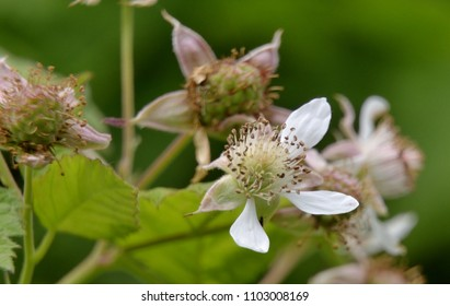 Blackberry flower with new fruits in the background