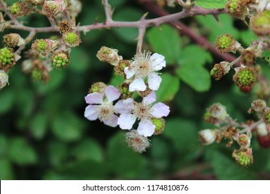 Blackberry flower (Rubus ulmifolius)