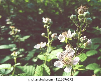 Blackberry flowers close up in the forest
