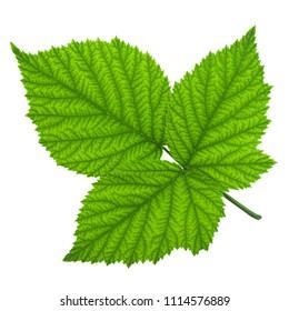 Blackberry fruit leaf closeup isolated on white background