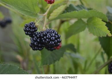 Blackberry on bush, soft dark - black fruits