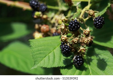 the blackberry plant with berries and green leaves in a garden