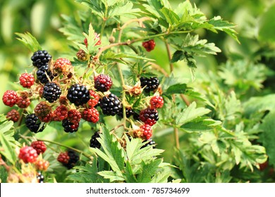 blackberry plant with fruits as nice natural background