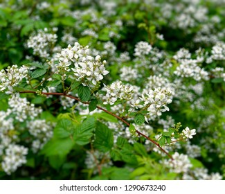 Blackberry plants growing and flowering in the wild.