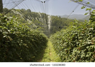Blackberry row in highland orchard sheltered with anti hail nets, protected cultivation