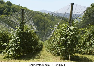Blackberry rows in highland orchard sheltered with anti hail nets, protected cultivation