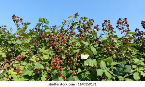 Blackberry (Rubus sectio Rubus) bushes full of fruits. Lacation: Hanover District, Germany