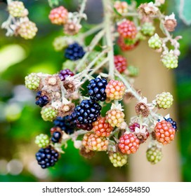 Blackberry, Rubus sectio Rubus growing in the yard with different stages of ripeness from green to red to black