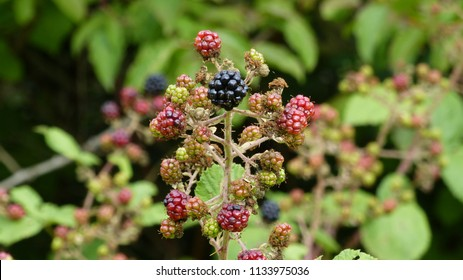 Blackberry (Rubus sectio Rubus) ripe and unripe fruits.
