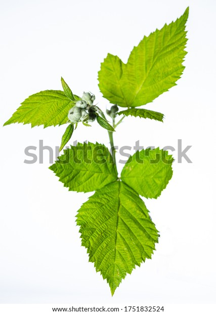 Blackberry twig. Young and green fruit. Photo on a white background. Seasonal plants.