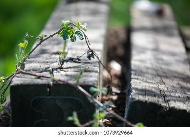 blackberry vine on railroad ties
