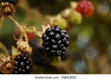 Blackberry - wild forest fruits