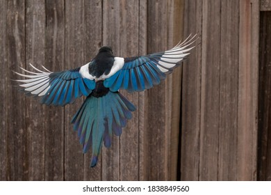 Black-billed Magpie in Flight with wings open