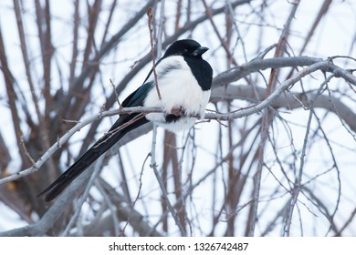 A Black-billed Magpie is perched on a branch on a cold, overcast winter day. Edmonton, Alberta, Canada.