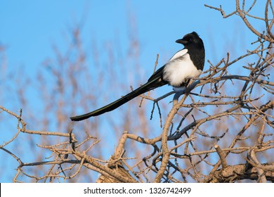 A Black-billed Magpie is perched on a branch enjoying the afternoon sun on a cold winter day. Edmonton, Alberta, Canada.