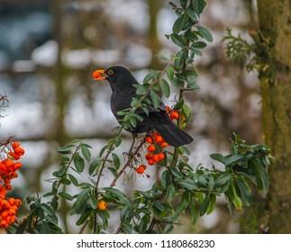 blackbird bird and Red pyracantha berries