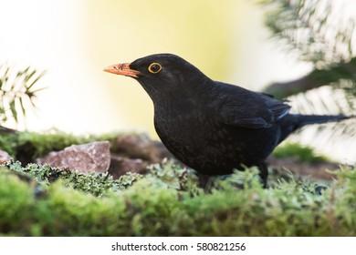 Blackbird, Birds