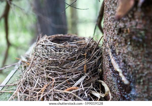Blackbird Blueish Green Eggs in Nest Closeup View