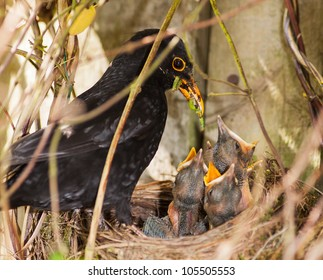 Blackbird Chicks Being Fed by Male
