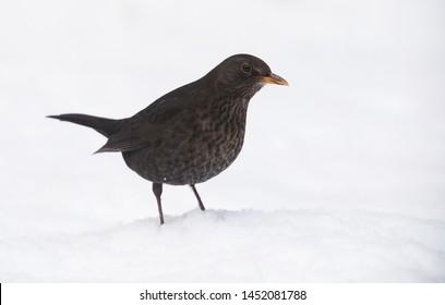 Blackbird common bird in Sweden.