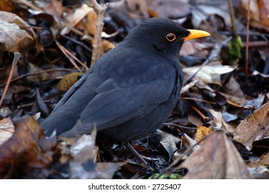 Blackbird detail in foliage