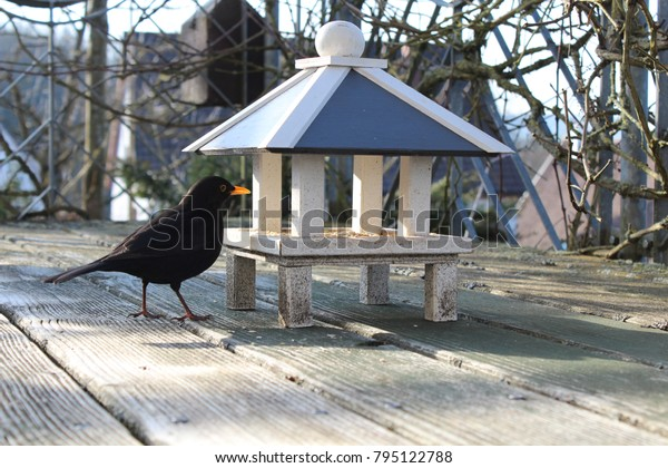 Blackbird at the feeding house